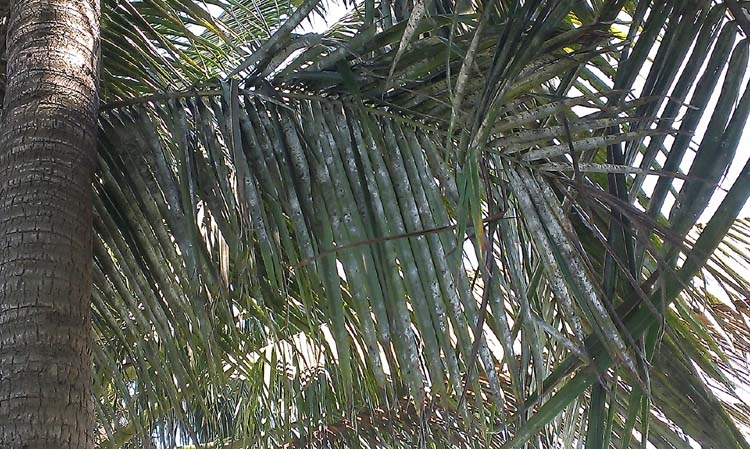 BARI identified Rugose Spiraling Whitefly in Bangladesh