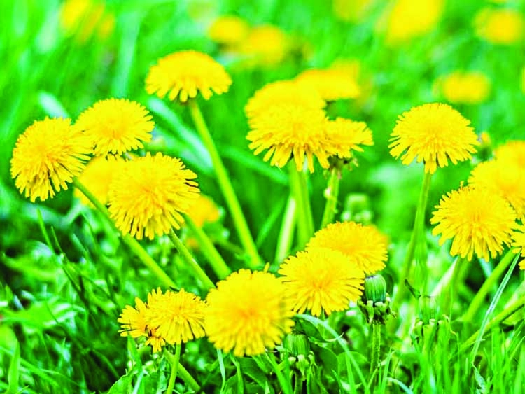 Give spring bees a boost with dandelion blooms