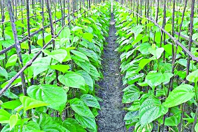 Betel leaf cultivation on rise in Cox's Bazar