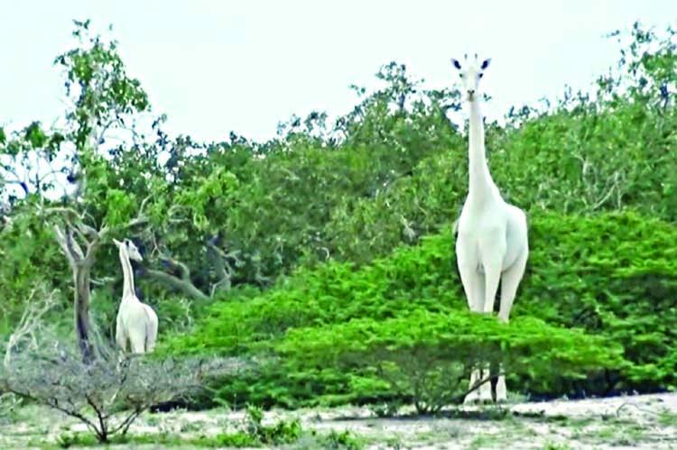 Rare white giraffes killed by poachers
