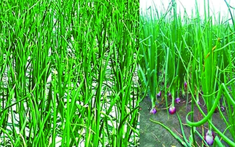 Onion harvesting in full swing in Manikganj