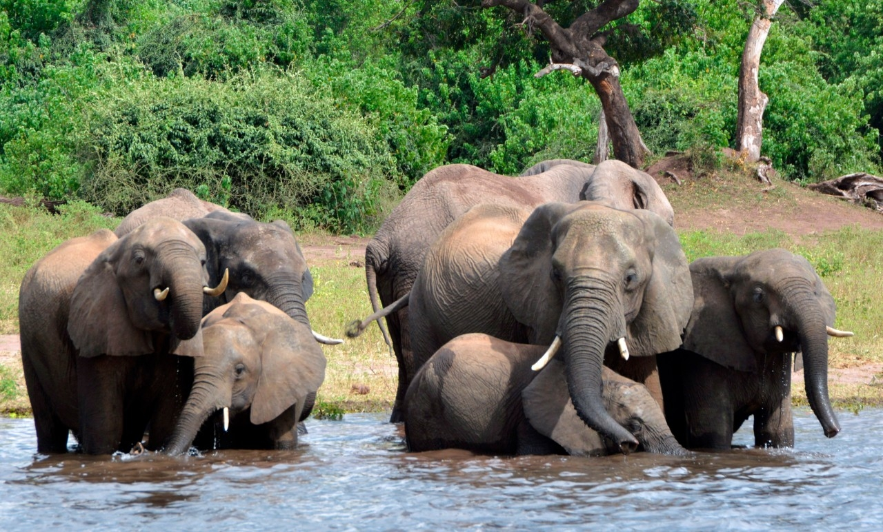 Botswana probes mysterious death of 12 elephants