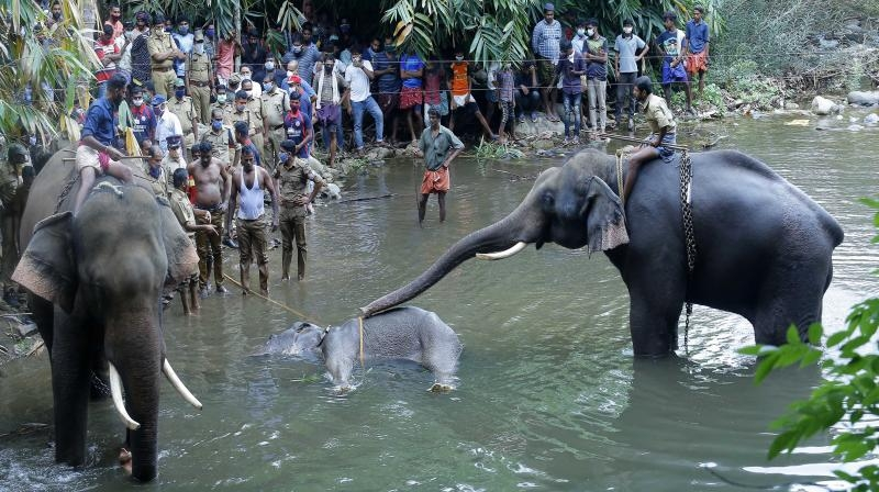 Post-mortem report: Yes, Kerala elephant died of gruesome oral injuries