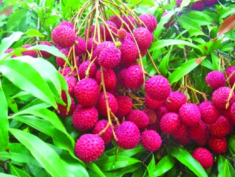 Lychee growers turn a profit despite COVID-19 scare