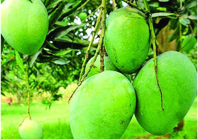 Naniarchar witnesses bumper mango production with export