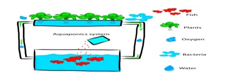Aquaponics: An option to ensure food security in coronaviruscrisis