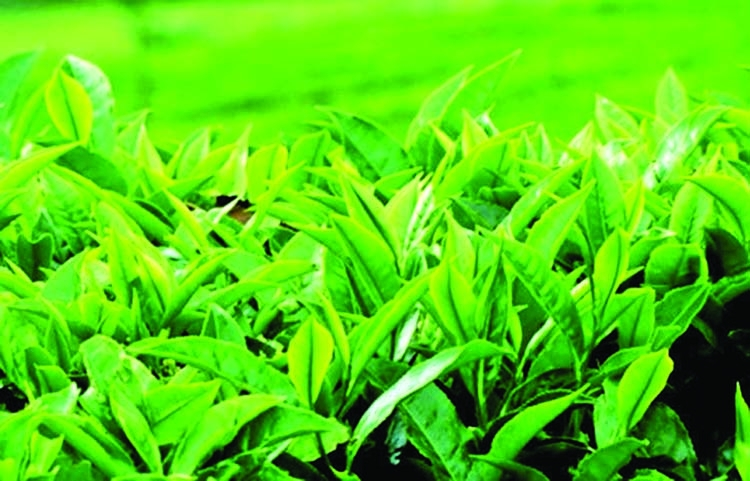 Govt for thriving tea cultivation