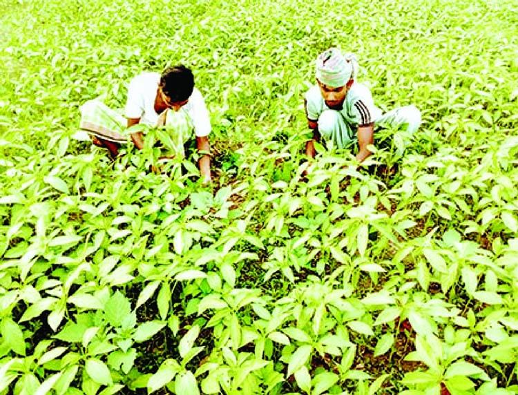Jute cultivation in Joypurhat on the rise