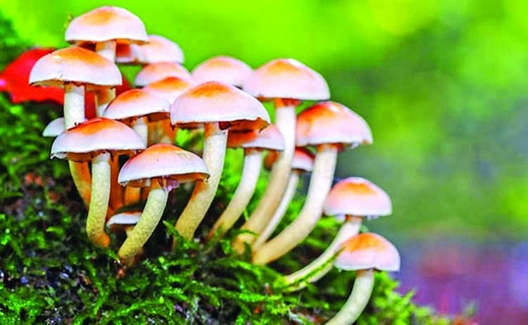Mushroom: A prospective vegetable crop in Bangladesh