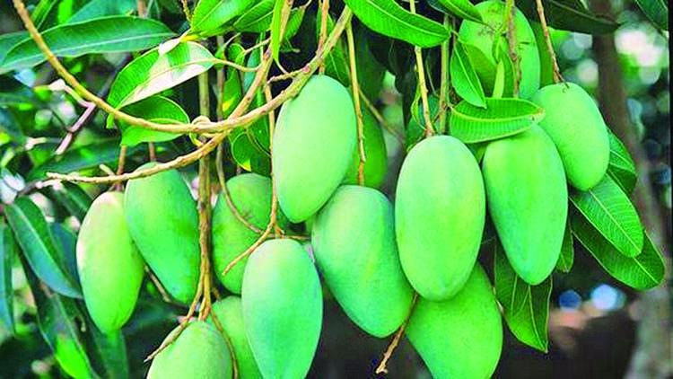 Mango business gains momentum in Rajshahi