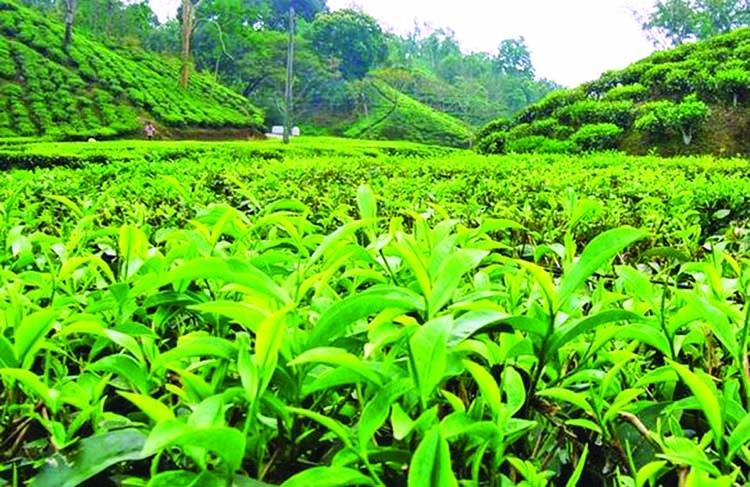 Call for fertilizer management in tea farming