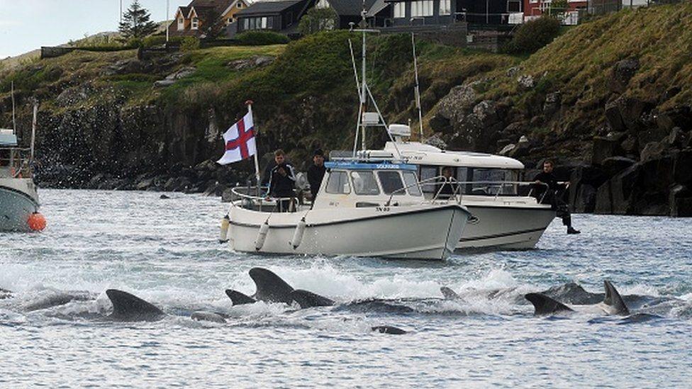 Mass dolphin killing in Faroe Islands stirs anger