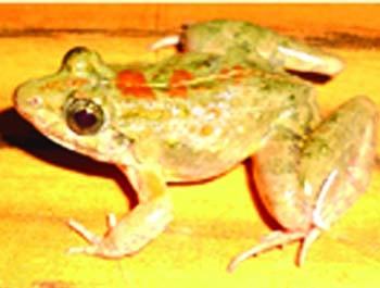 New frog species found in Dhaka