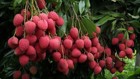 Bumper litchi yield  likely  in Rangpur division