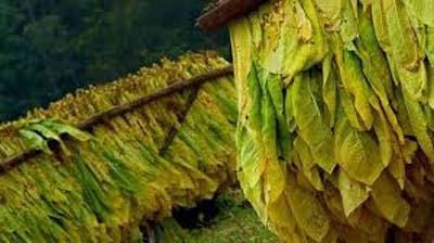 Tobacco cultivation leaves Cox's Bazar farmers bankrupt