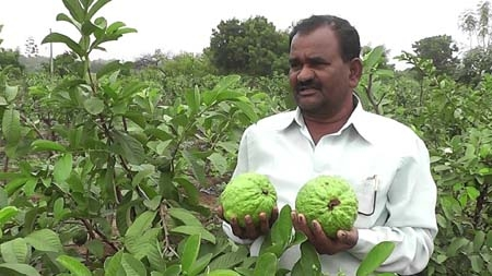 Thai Guava farming results in revolution | The Asian Age Online