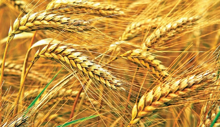 Bumper wheat  yield in Rajshahi
