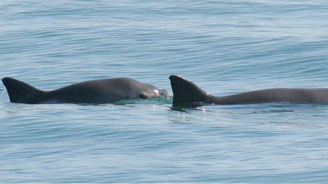 Rare porpoise faces 'imminent extinction'