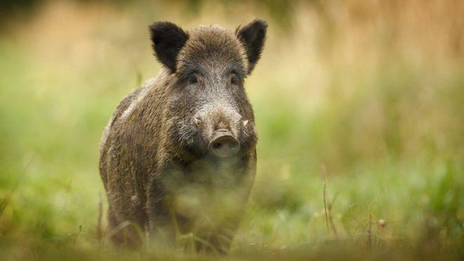 UK envoy's 'bruising' encounter with Austrian boar
