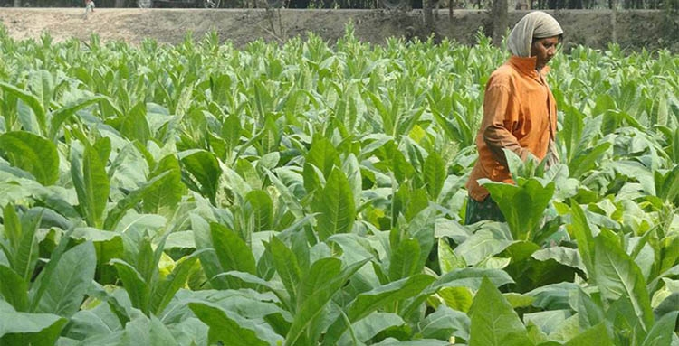Tobacco cultivation must be discouraged