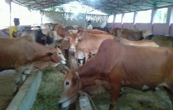 Rajshahi Marginal Dairy Farmers Need Milk Marketing Scope