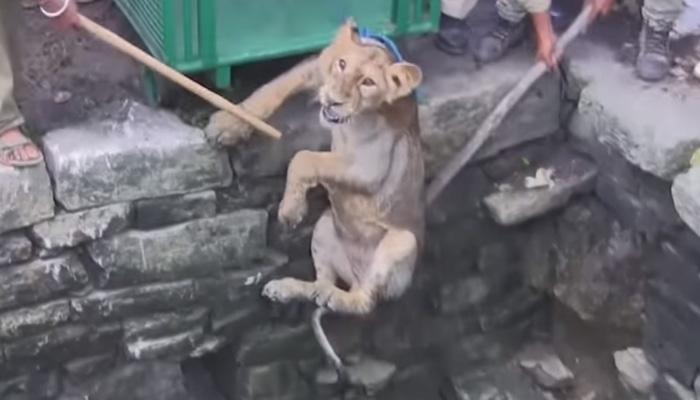 [WATCH] Lion cub rescued from 80-feet well in Gujarat