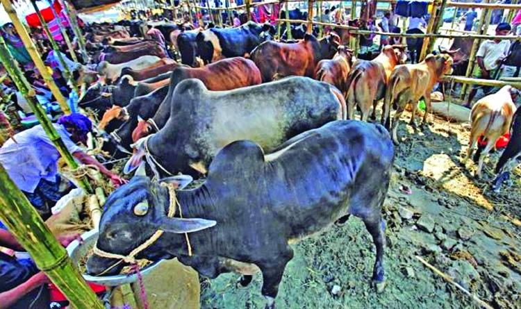 250 cattle markets in Ctg for upcoming Eid ul-Azha
