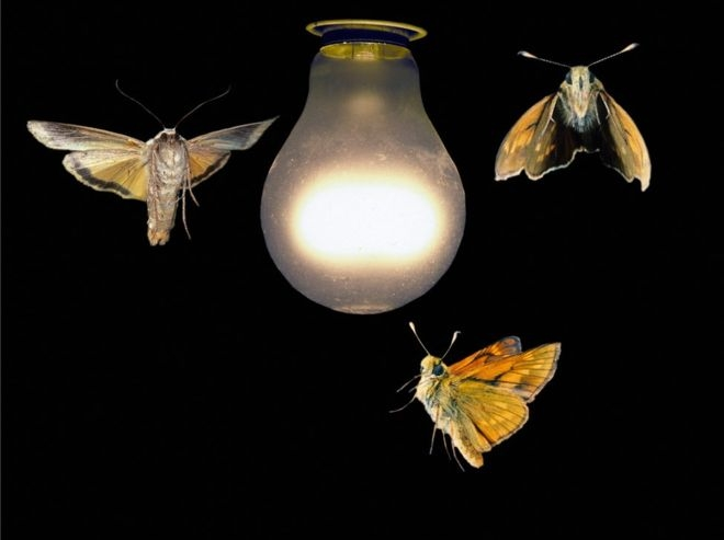Pollination threatened by artificial light