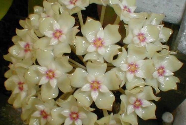 Species of tropical plants Hoya