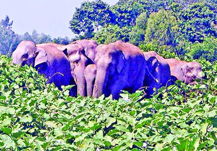 Elephants face food crisis