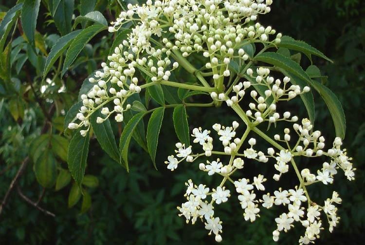 Neem/Margosa Tree