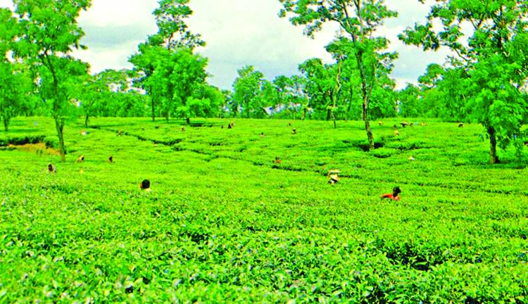 Tk 194.38 million projects to boost tea production