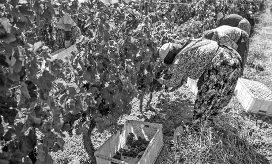 Turkey's wine industry refuses to wither