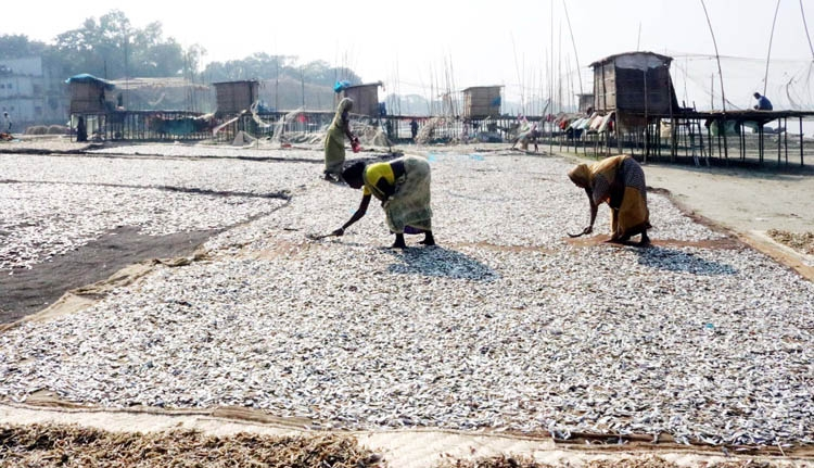 Fishes being dried in festive  mood in Brahmanbaria