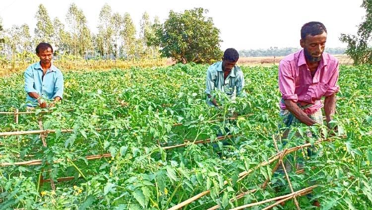 Tomato farming has become  profitable in Natore district