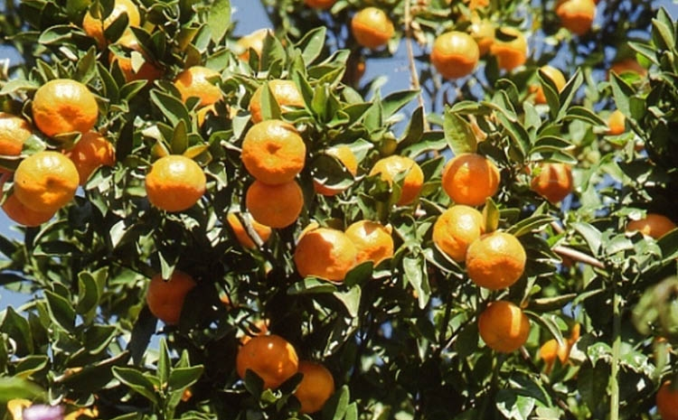 Orange Cultivation Gains Popularity In Panchagarh  The -6963