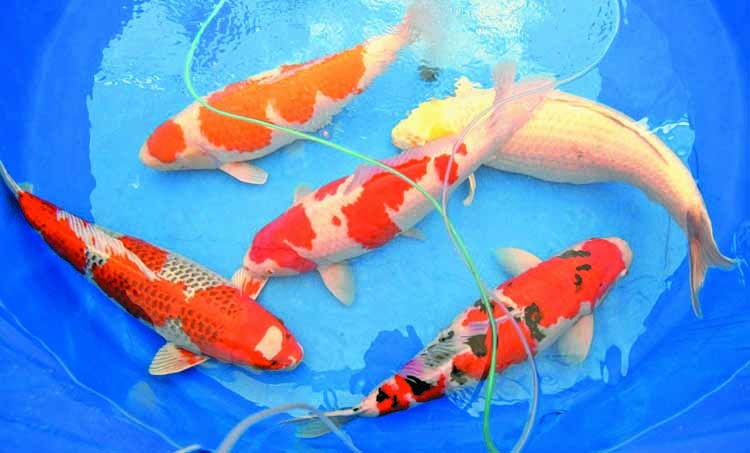 Koi Story Priceless Japanese Fish Makes A Splash The