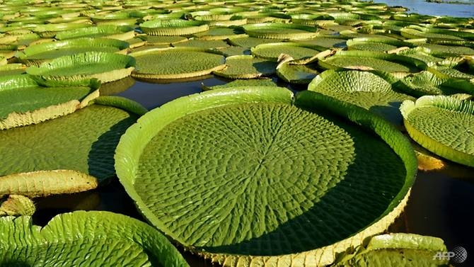 Rare giant lily pads draw impressive crowds to Paraguay lagoon
