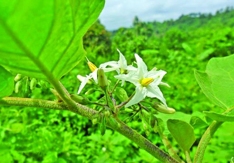 A medicinal plant
