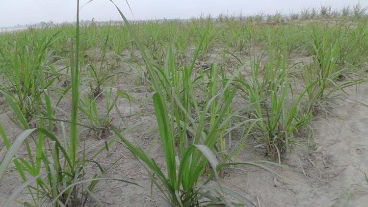 Farmers losing interest  in sugarcane farming