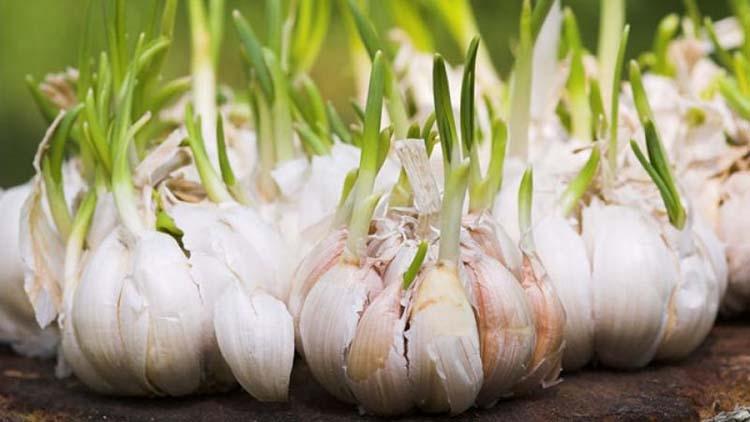 Garlic farming getting popularity