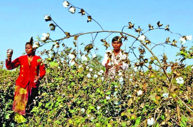 India cuts Monsanto's GM cotton seed royalty