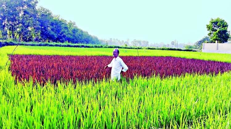 Rare purple paddy in Cumilla