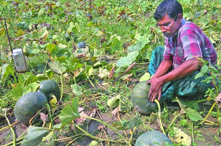 Bumper pumpkin output brings fortune to Sherpur farmers