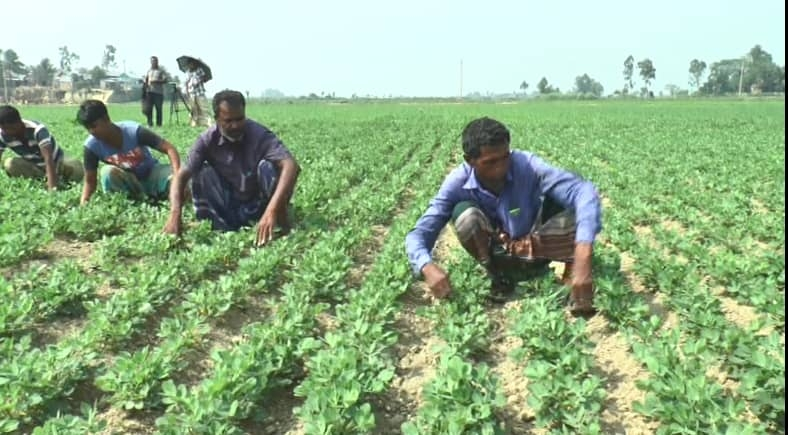 Peanut farming gets momentum in B'baria