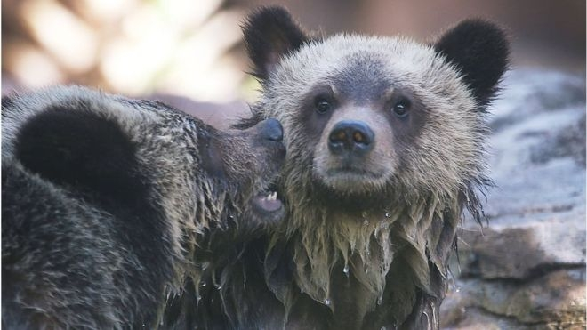 US to lift ban on baiting bears in Alaska