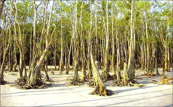 Sundari disappearing fast in Sundarbans for salinity, diseases