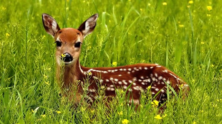 Deer poaching in Sundarbans rises as authorities fail to act