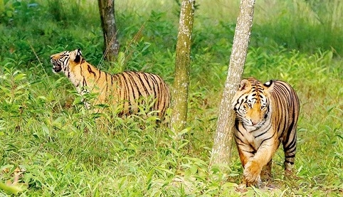 Growing vulnerabilities of tigers: 50 beaten dead in 18 years