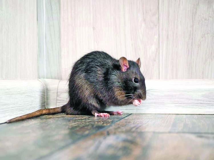 Rat pulls fire alarm, forces US building evacuation